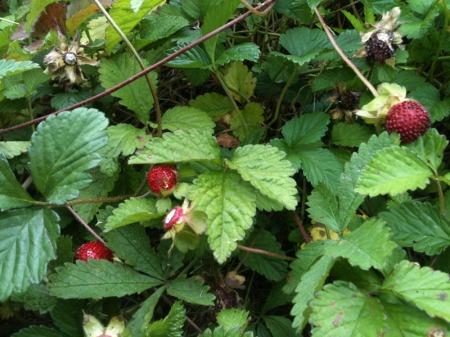 Falsche-Erdbeeren